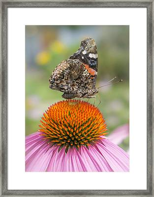 Red Admiral Butterfly On Coneflower Framed Print by Jim Hughes