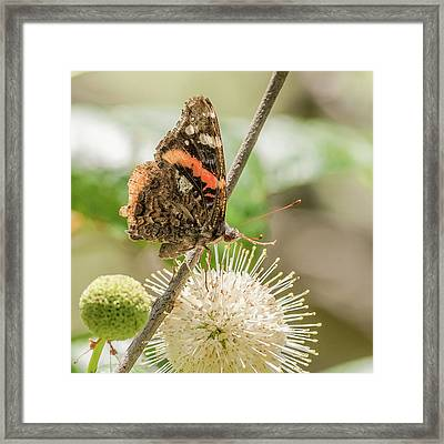 Red Admiral On A Buttonbush Framed Print