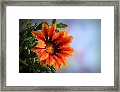 Red African Daisey Framed Print by Gary Yost