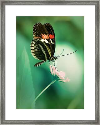 Red And Black Butterfly On White Flower Framed Print by Jaroslaw Blaminsky