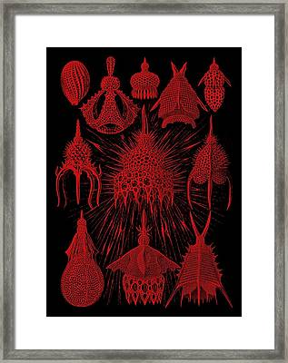 Red And Black Cyrtoidea Framed Print by Diane Addis