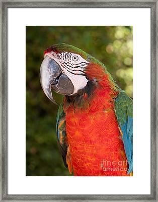 Red-and-green Macaw Framed Print by Svetlana Ledneva-Schukina