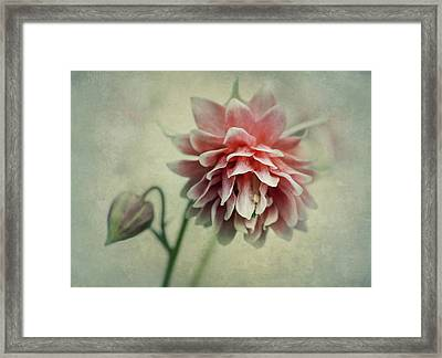 Red And Pink Columbine Framed Print