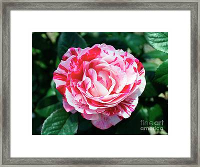 Red And Pink Floral Candy Rose Garden 490 Framed Print