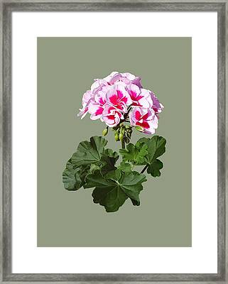 Red And Pink Geranium Framed Print