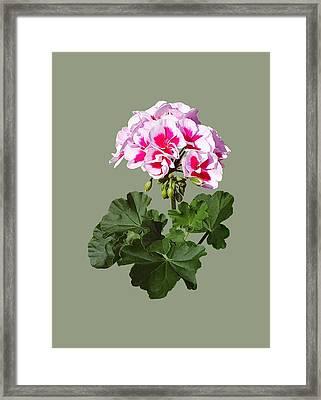Red And Pink Geranium Framed Print by Susan Savad