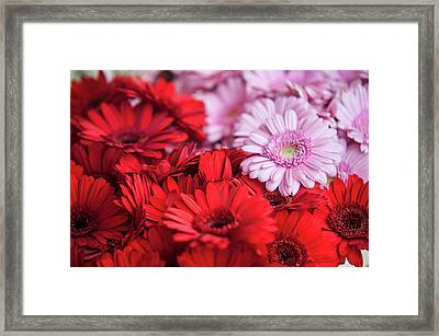 Red And Pink Gerberas Display Framed Print by Jenny Rainbow