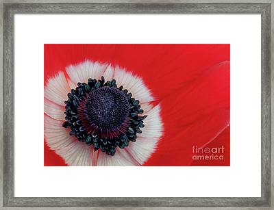 Red And White Anemone Visit Www.angeliniphoto.com For More Framed Print by Mary Angelini