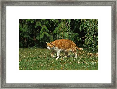 Red And White Domestic Cat Framed Print