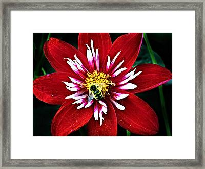 Red And White Flower With Bee Framed Print
