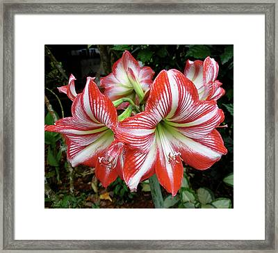 Red And White Lilies Framed Print by Gregory Young