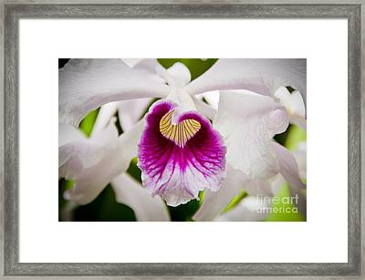 Red And White Orchid Framed Print by Oscar Gutierrez