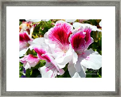 Red And White Petunias In The Garden Framed Print by Mary Deal