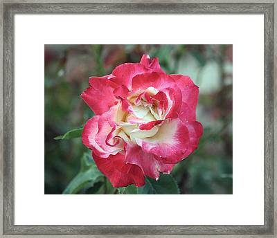Red And White Rose Framed Print
