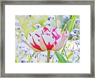 Red And White Tulip Framed Print by Terri Waters