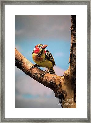 Red And Yellow Barbet Framed Print