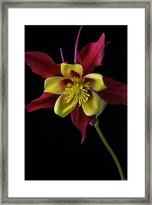 Red And Yellow Columbine Flower Framed Print by Garry Gay