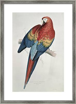 Red And Yellow Macaw  Framed Print by Edward Lear