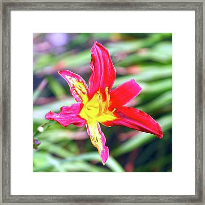 Red And Yellow Orchid Framed Print