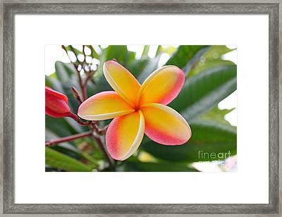 Red And Yellow Plumeria Framed Print