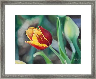 Red And Yellow Tulip Framed Print by Joshua Martin