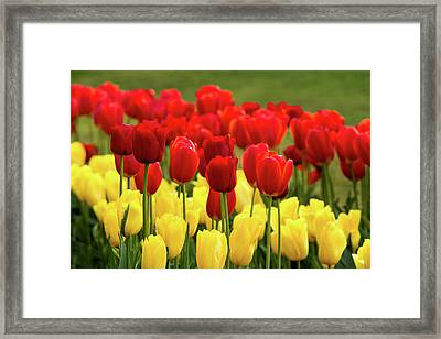 Red And Yellow Tulips Framed Print by Mary Jo Allen