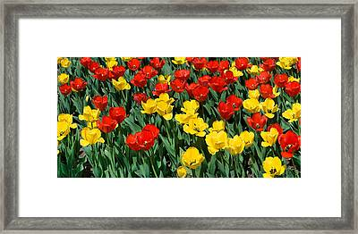 Red And Yellow Tulips  Naperville Illinois Framed Print