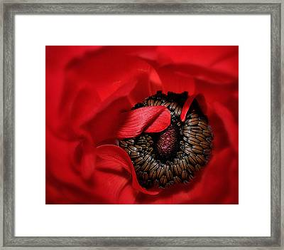 Red Anemone Framed Print
