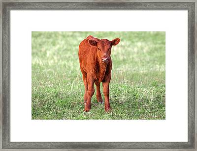 Red Angus Calf Framed Print by Todd Klassy
