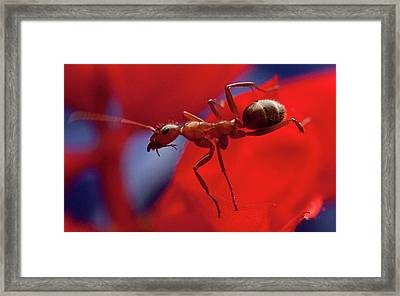 Framed Print featuring the photograph Red Ant Macro by Jeff Folger
