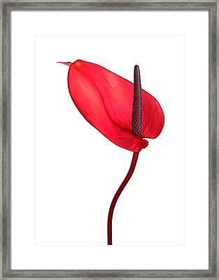 Red Anthrium Framed Print