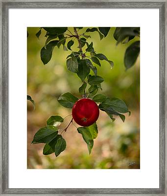 Red Apple Ready For Picking Framed Print