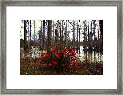 Red Azaleas In The Swamp Framed Print by Susanne Van Hulst