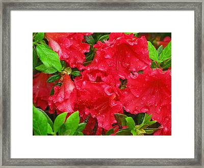 Red Azaleas Framed Print by Richard Singleton