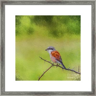 Red-backed Shrike Framed Print