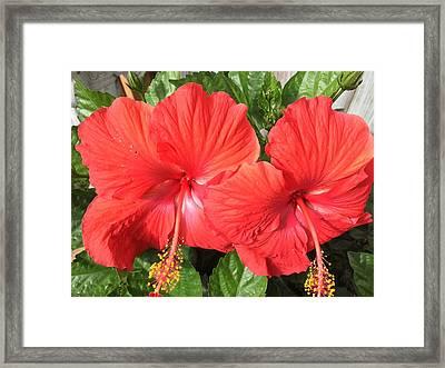 Red Beauties Framed Print