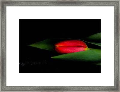 Red Beautiful Harmonious Tulip Framed Print