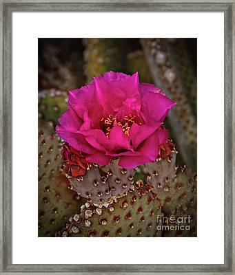 Framed Print featuring the photograph Red Beavertail Cactus Bloom by Robert Bales