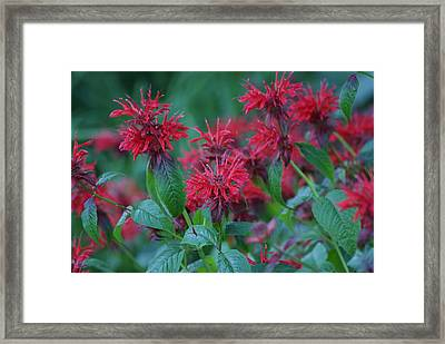 Red Bee Balm Framed Print