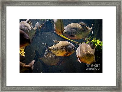 Red Bellied Hungry Piranha Framed Print by Arletta Cwalina