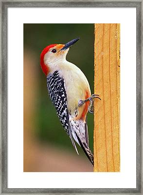 Red Bellied On Post Framed Print