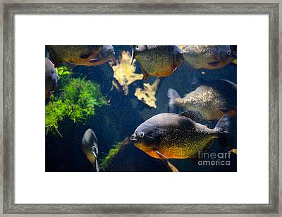 Red Bellied Piranha Fishes Framed Print by Arletta Cwalina