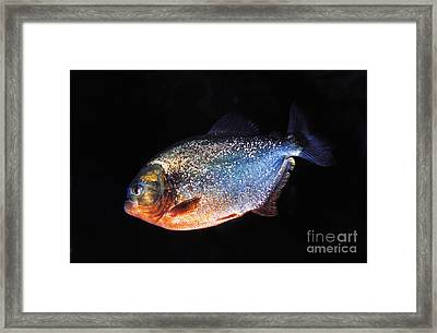 Red Bellied Piranha Framed Print