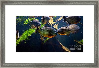 Red Bellied Piranha Or Red Piranha Framed Print
