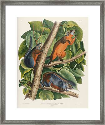 Red Bellied Squirrel  Framed Print by John James Audubon