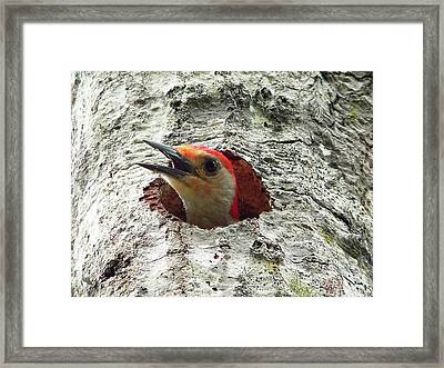 Red-bellied Woodpecker 02 Framed Print by Al Powell Photography USA