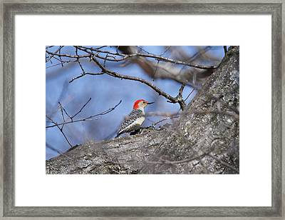 Framed Print featuring the photograph Red-bellied Woodpecker 1134 by Michael Peychich