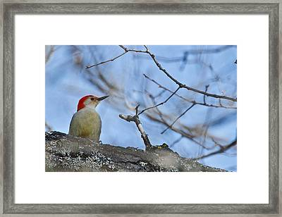 Framed Print featuring the photograph Red-bellied Woodpecker 1137 by Michael Peychich