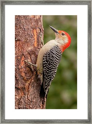 Red Bellied Woodpecker 3 Framed Print by Jim Hughes