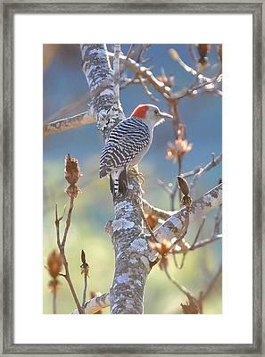 Red Bellied Woodpecker Framed Print by Alan Lenk